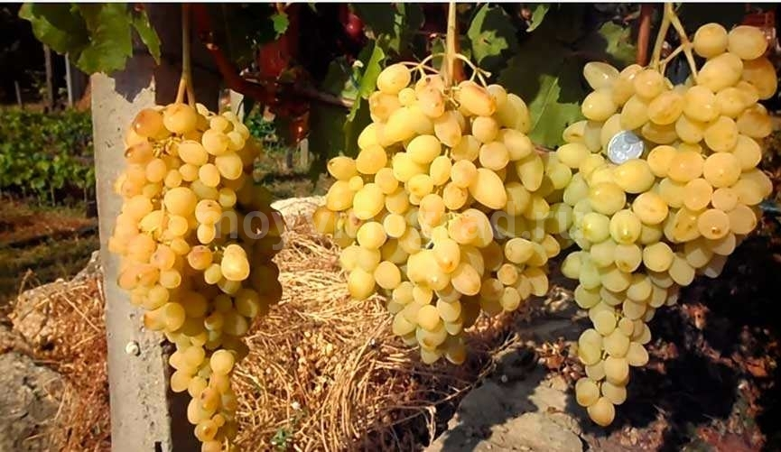 виноград-долгожданный-фото