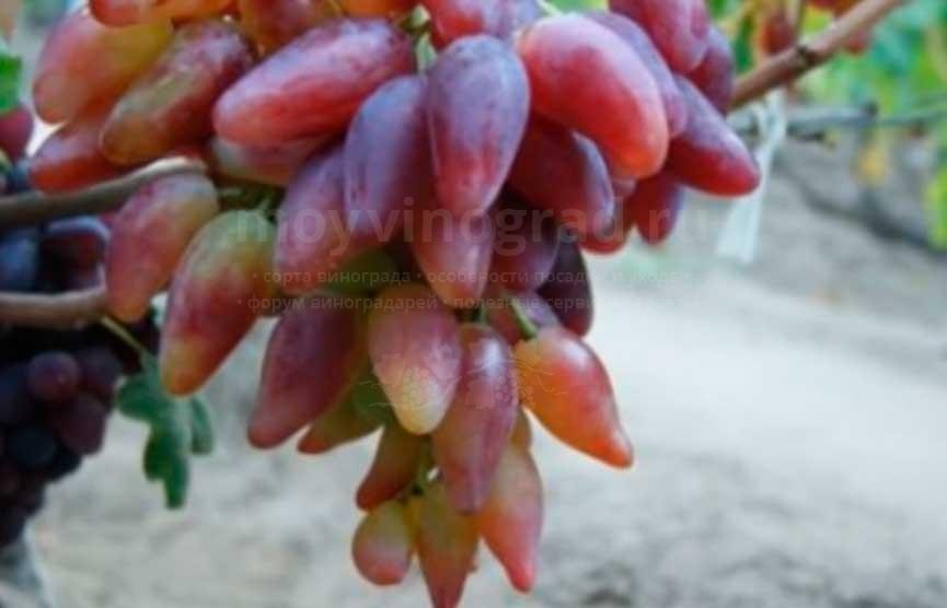 виноград-дубовский-4-фото
