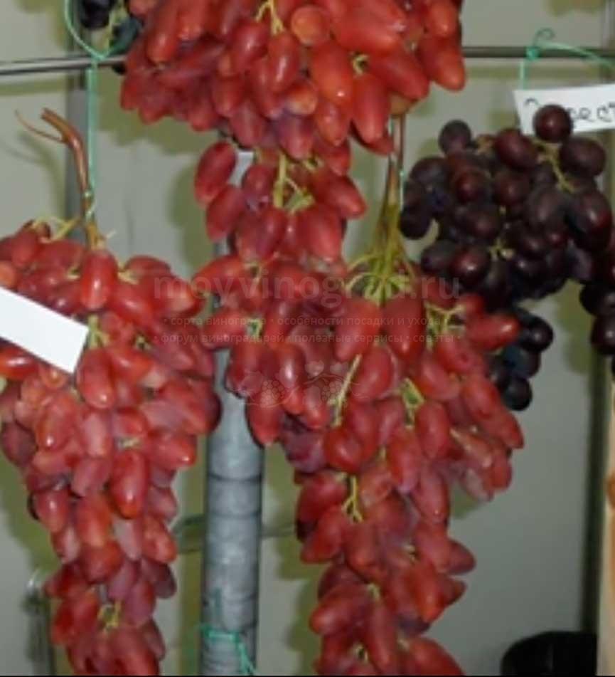 виноград-дубовский-5-фото