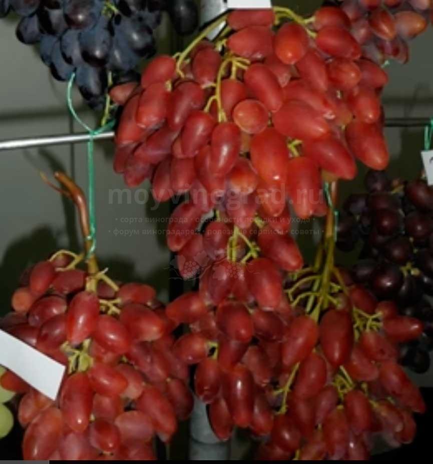 виноград-дубовский-6-фото