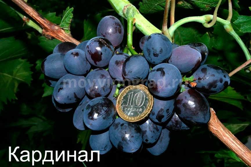 Виноград Кардинал фотография
