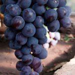 Сорт винограда Кардинал фото