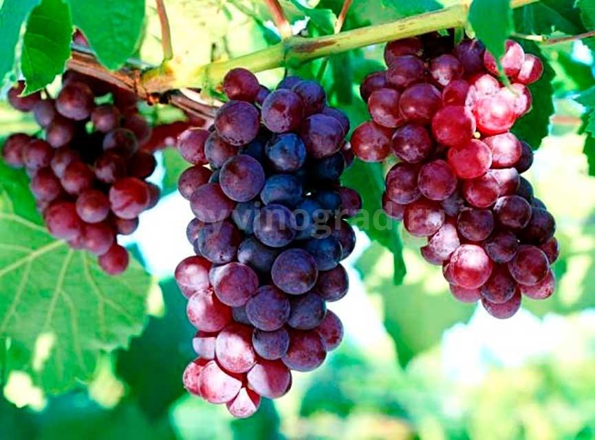 Кардинал виноград сорт фото