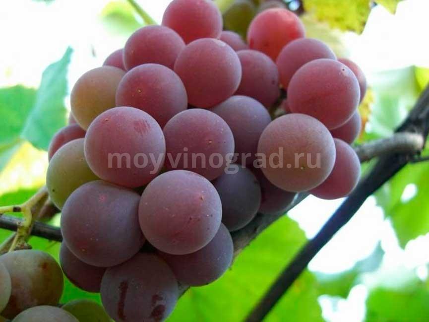 Виноград Кардинал не дозревший фото