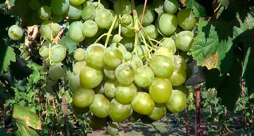 виноград-сорта-кеша-1-фото