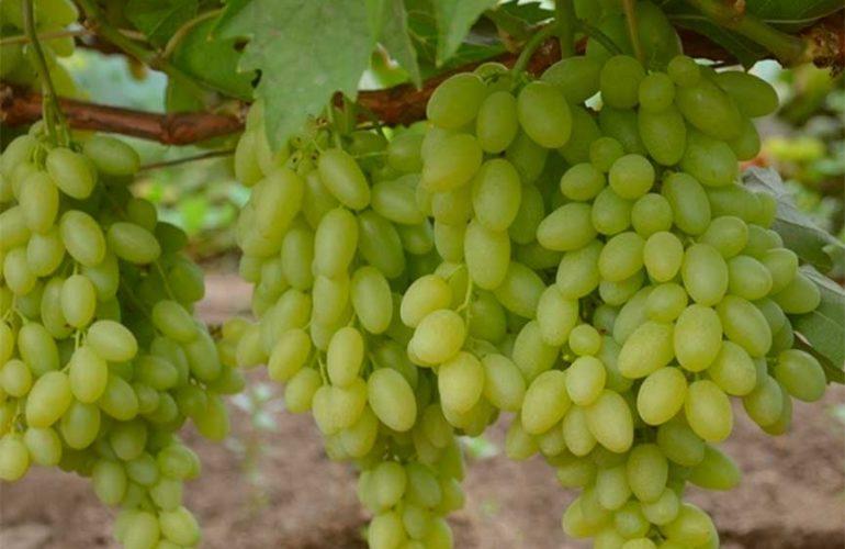 виноград-киш-миш-столетие-2-фото