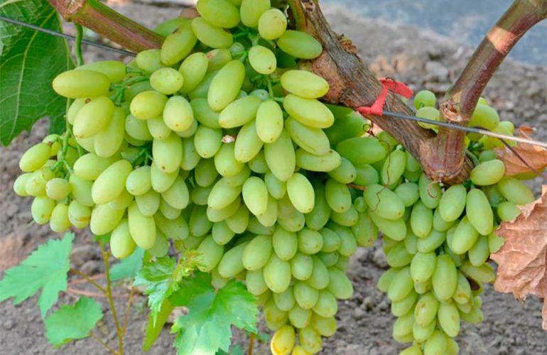 виноград-киш-миш-столетие-фотография