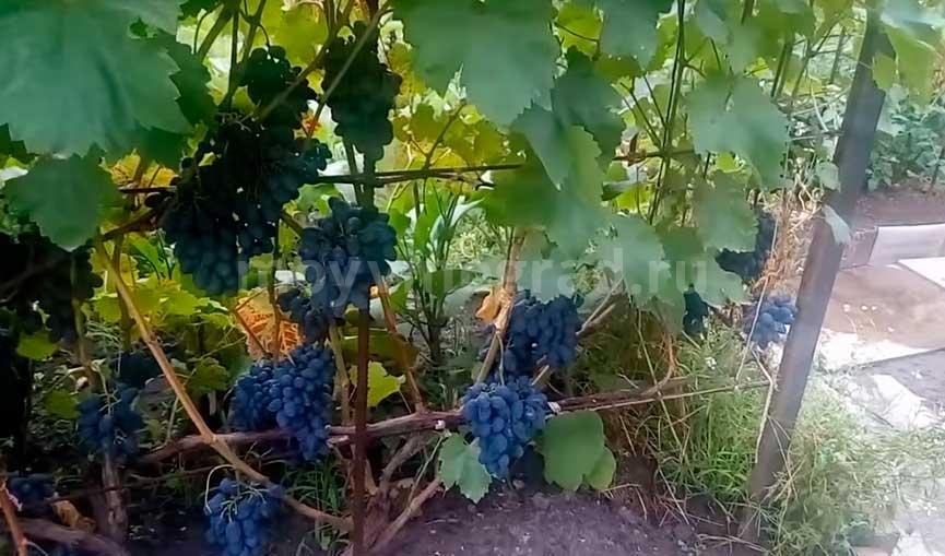Виноградник с кодрянкой фото