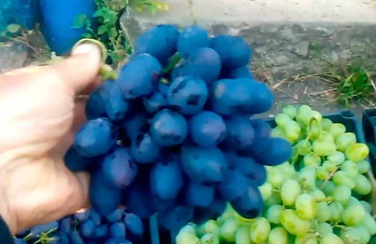 виноград-кодрянка-5-фото