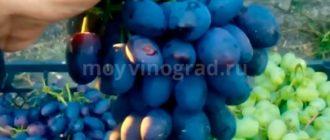 Сорт Кодрянка ягоды фото