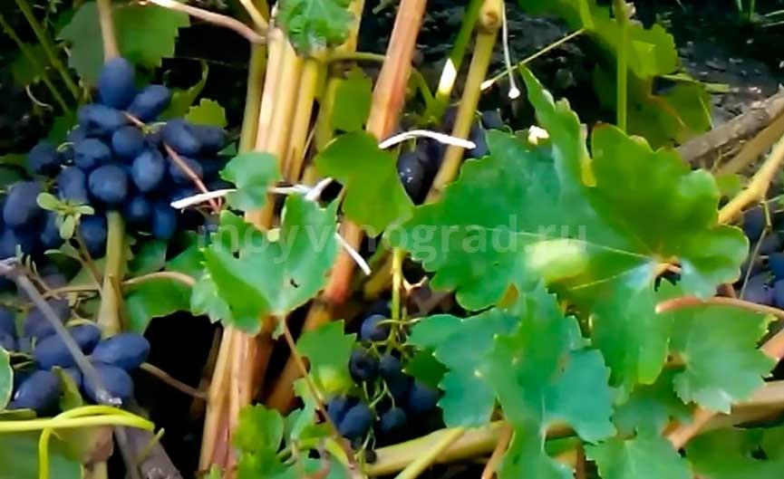 виноград-кодрянка-из-спящих-почек-фото