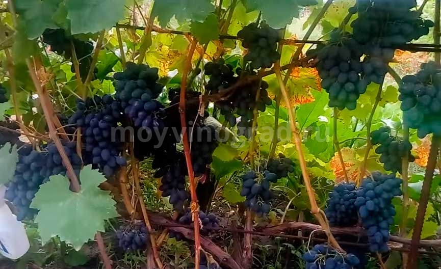 Сорт винограда Кодрянка фото