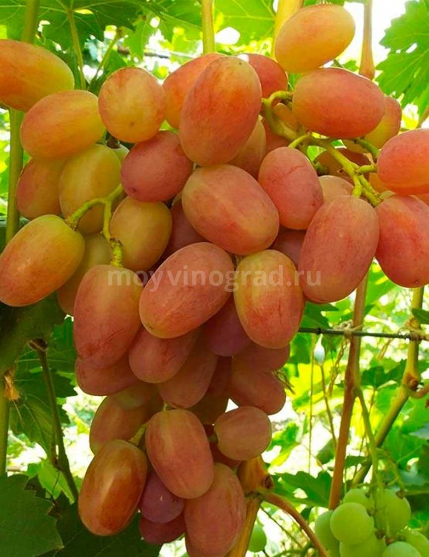 Виноград Сенсация на кусту фото