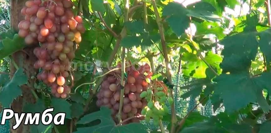 Румба сорт винограда характеристика фото
