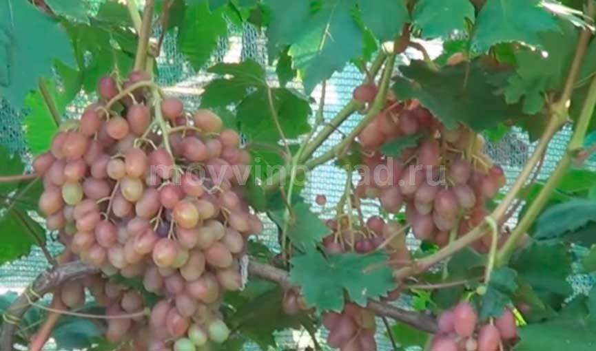 Румба сорт винограда фото