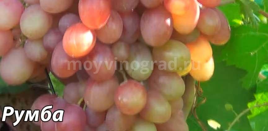 ягоды винограда Румба фото