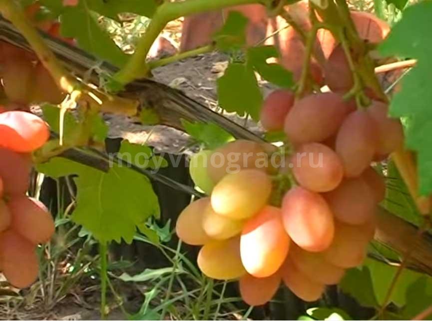 Пример грозди винограда Румба фото