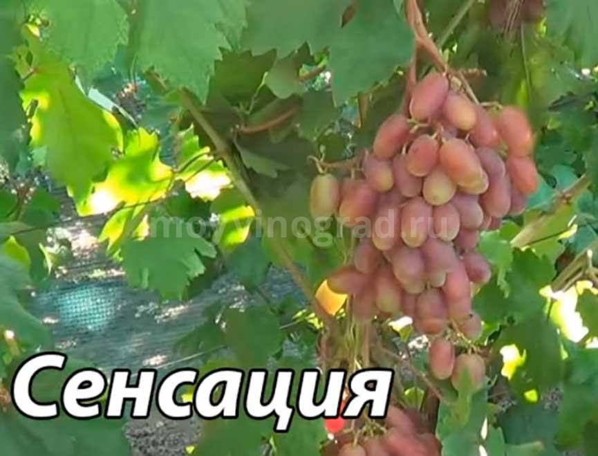 Виноград сорта Сенсация характеристика фото