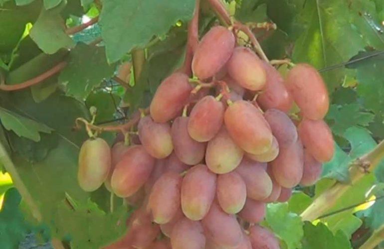 Виноград сенсация уход фото
