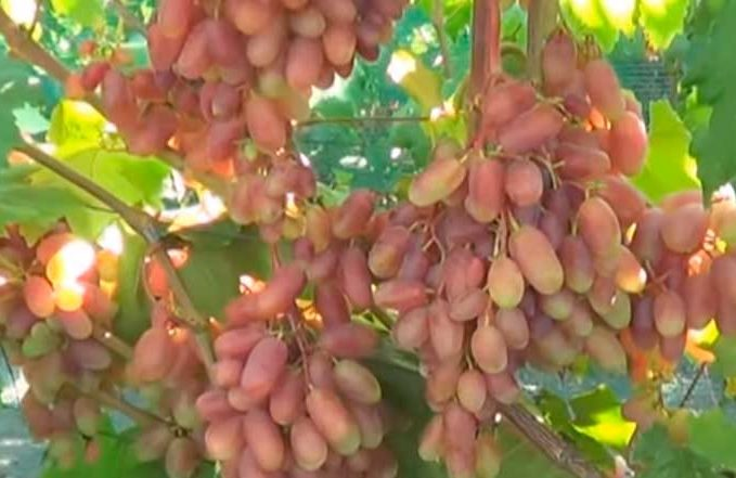 Сенсация виноград фото