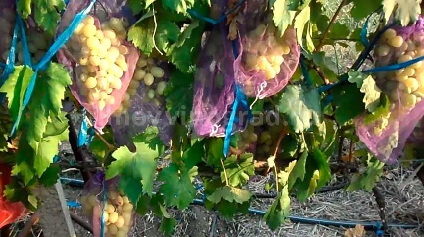 виноград-сорта-Ландыш-фото