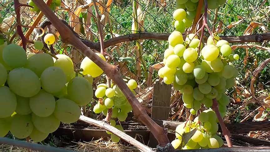виноград-Кеша-1