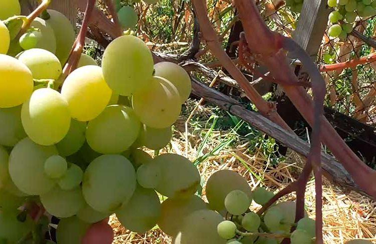 виноград-талисман-гроздь-с-удачным-опылением-фото