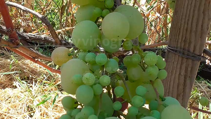 виноград-талисман-не-удачно-опыление-фото