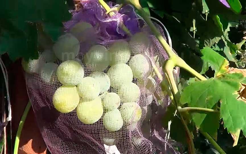 виноград-талисман-в-сетке-от-ос-фото