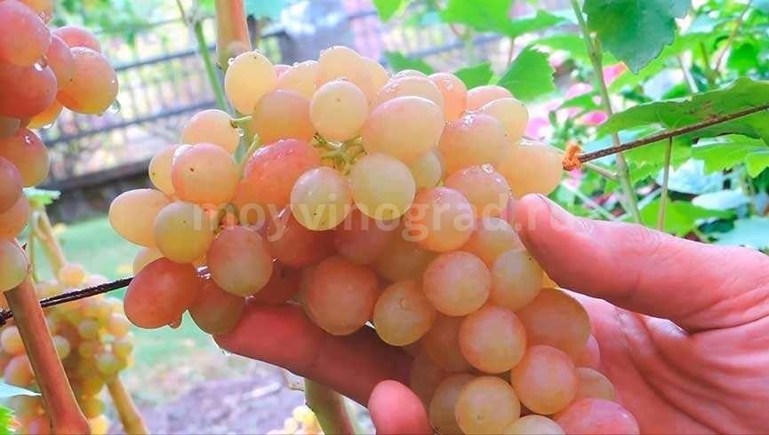Тасон мускат виноград фото