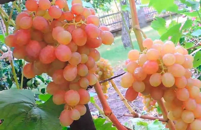 2 грозди винограда сорта Тасон фото