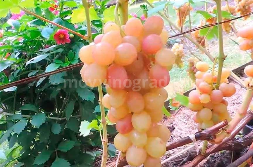 Поспевший виноград Тасон фото