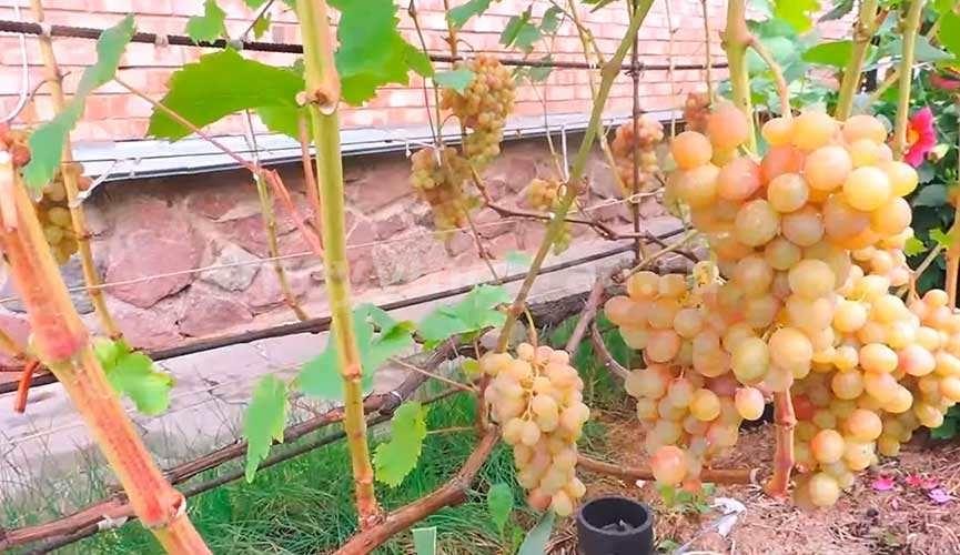 Тасон грозди винограда фотография