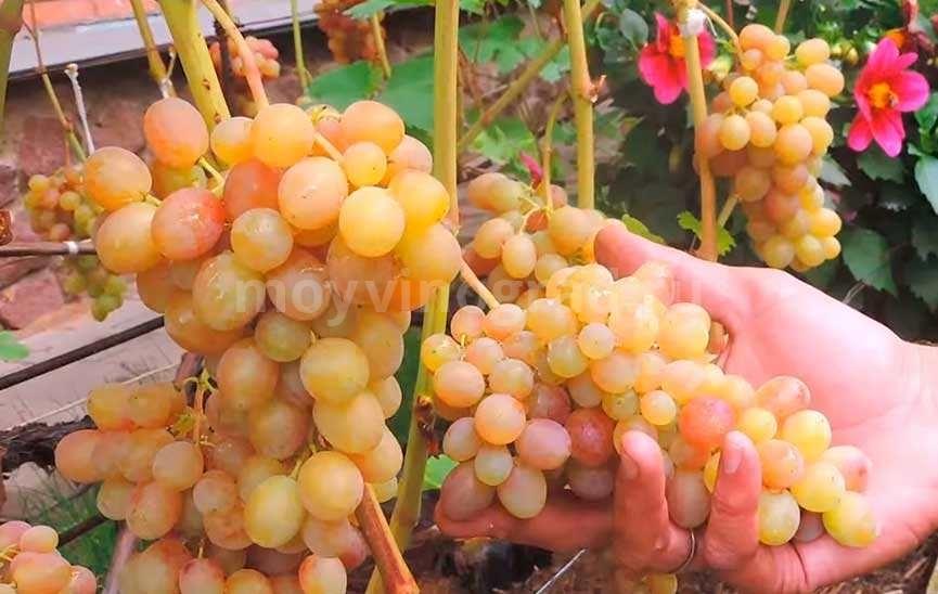 виноград Тасон ягоды фото