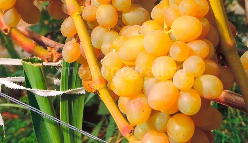 виноград-тасон-7-фото