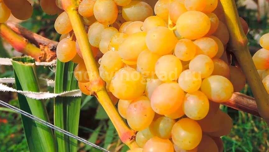 Гроздь винограда Тасон фото