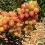Виноград сорта Тасон фото