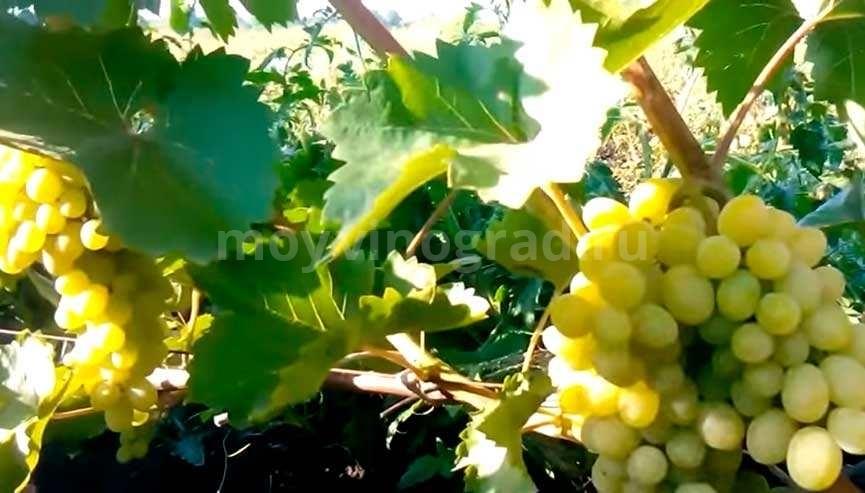 виноград-устойчивый-фото