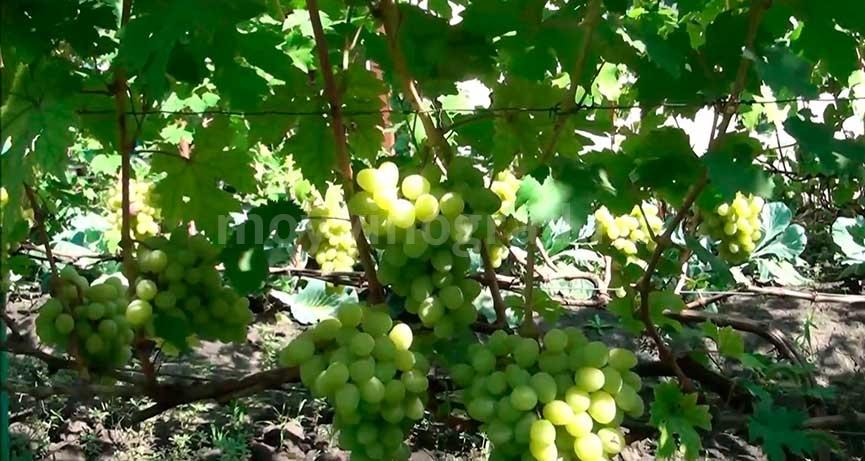 Винограда Валек фото