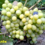 Виноград Валек с описанием фотография