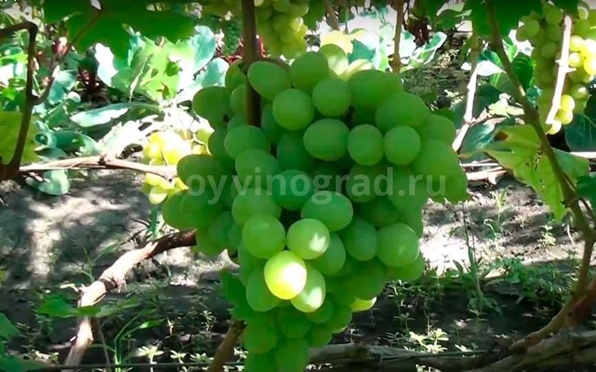 Сорт винограда Валек фото