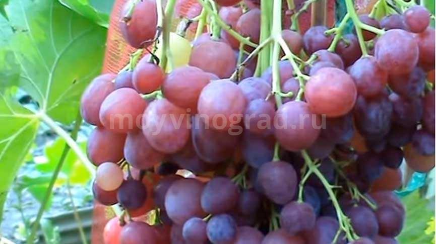 Виноград киш миш Велес фото