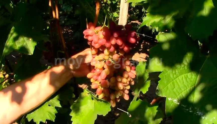 Гроздь винограда Велес фото