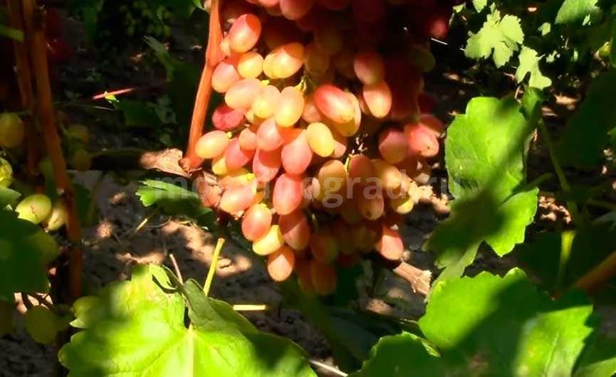 Гроздь винограда сорта Велес фото