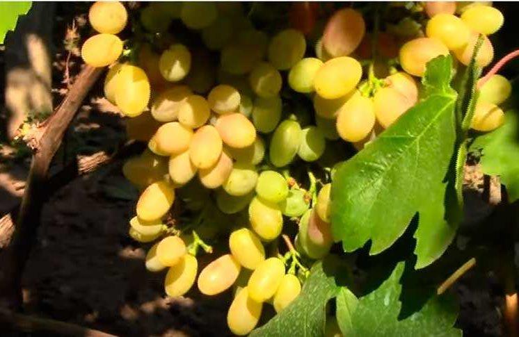 виноград-велес-гроздь-не-набравшая-цвета-фото