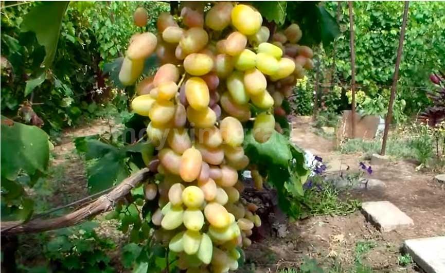 Виктор виноград сорта фото
