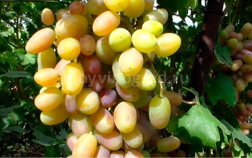 Виктор виноград сорт фото