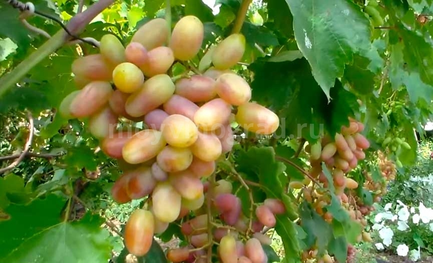 Виктор сорт винограда фото