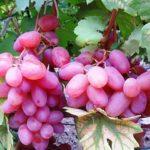 Сорт винограда Виктор фото
