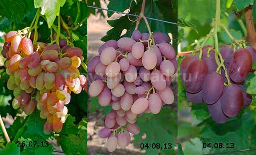 Виноград виктор разные фото